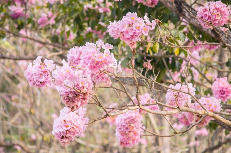Blomma för blomma för träd för rosa färgtrumpet (tabebuia) arkivfoto