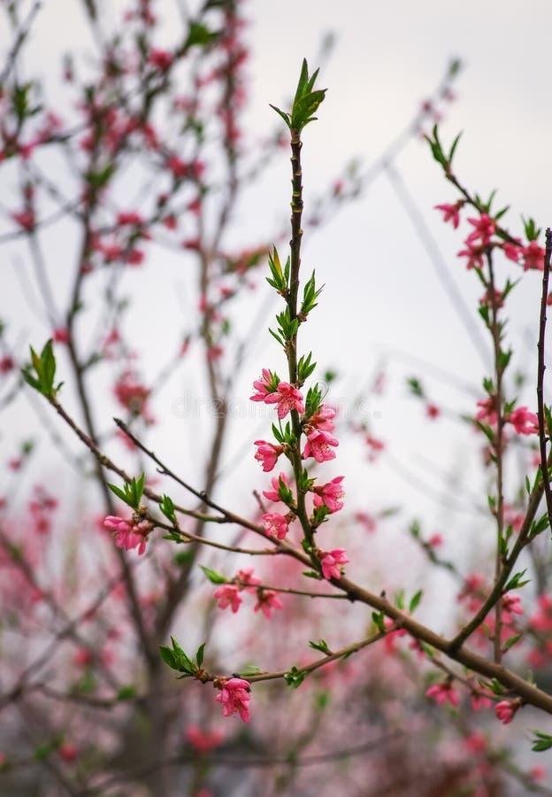 Blomma för blomning för persikaträd royaltyfria bilder