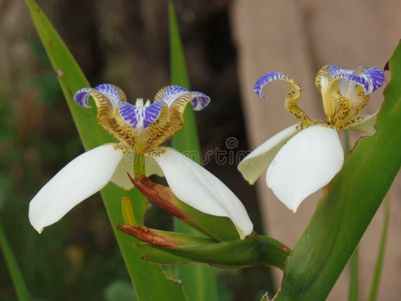 Blomma för brasilianNeomarica Candida i trädgården royaltyfri bild