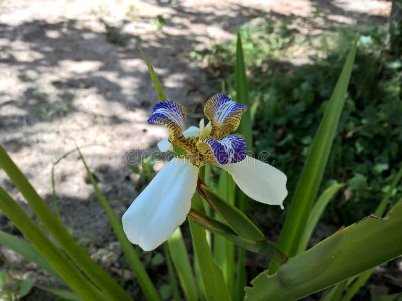 Blomma för brasilianNeomarica Candida i trädgården fotografering för bildbyråer