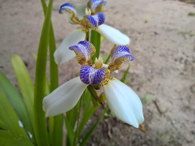 Blomma för brasilianNeomarica Candida i trädgården royaltyfria bilder
