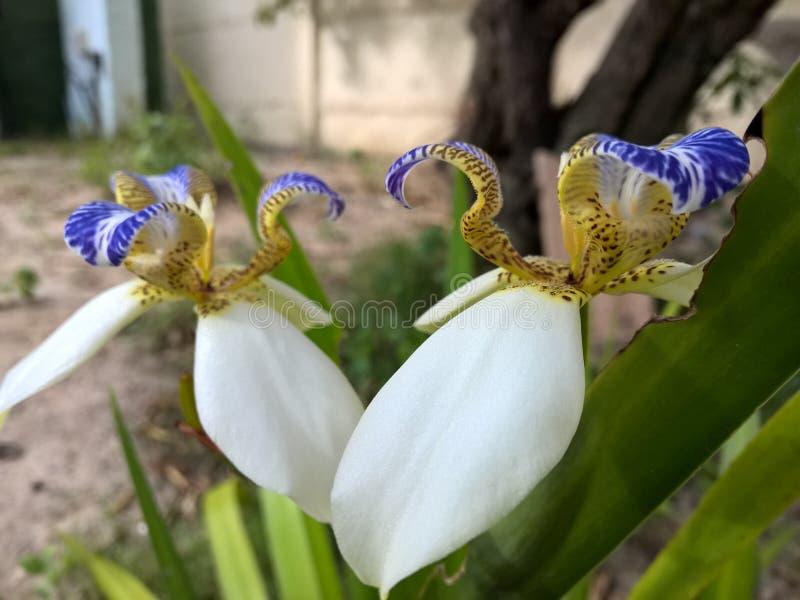 Blomma för brasilianNeomarica Candida i trädgården arkivfoto