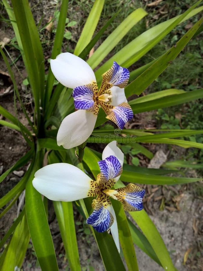 Blomma för brasilianNeomarica Candida i trädgården royaltyfri fotografi