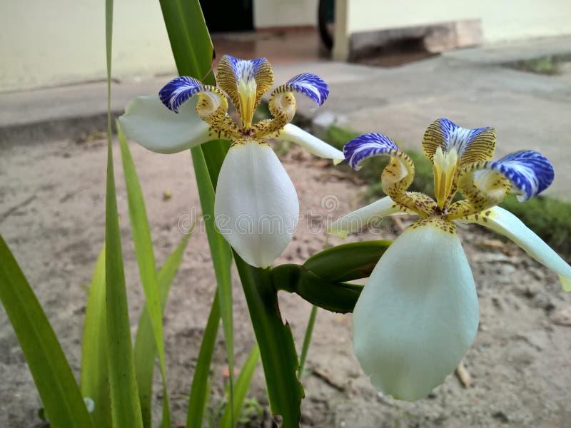 Blomma för brasilianNeomarica Candida i trädgården arkivbilder