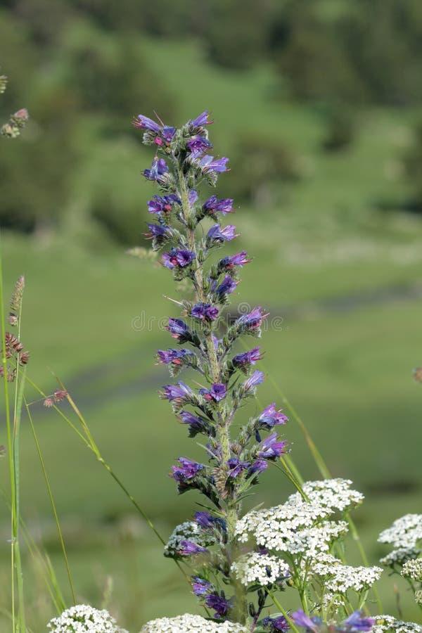 Blomma för bugloss för huggorm` s arkivbilder