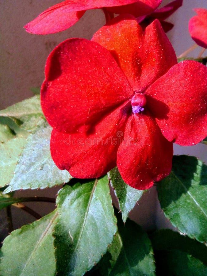 Blomma för Buzzie lizzie royaltyfri bild