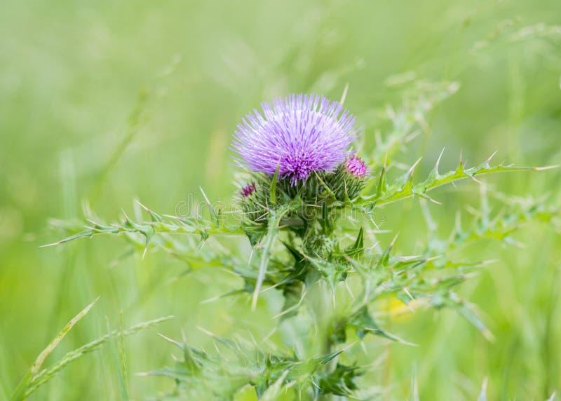 Blomma för Cirsiumarvensetistel royaltyfria bilder