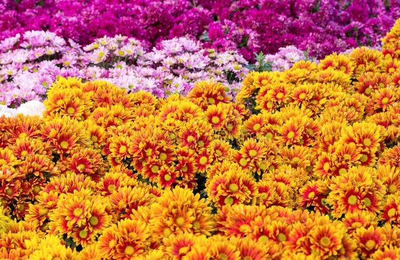 Blomma för fält för krysantemumtusenskönablomma arkivbilder