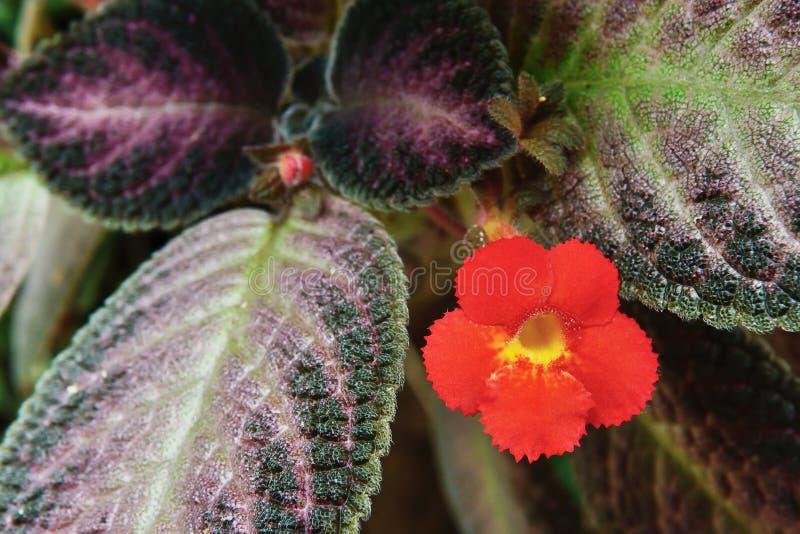 Blomma för färg för blommaväxt (den violetta växten för flamman) härlig orange arkivfoton