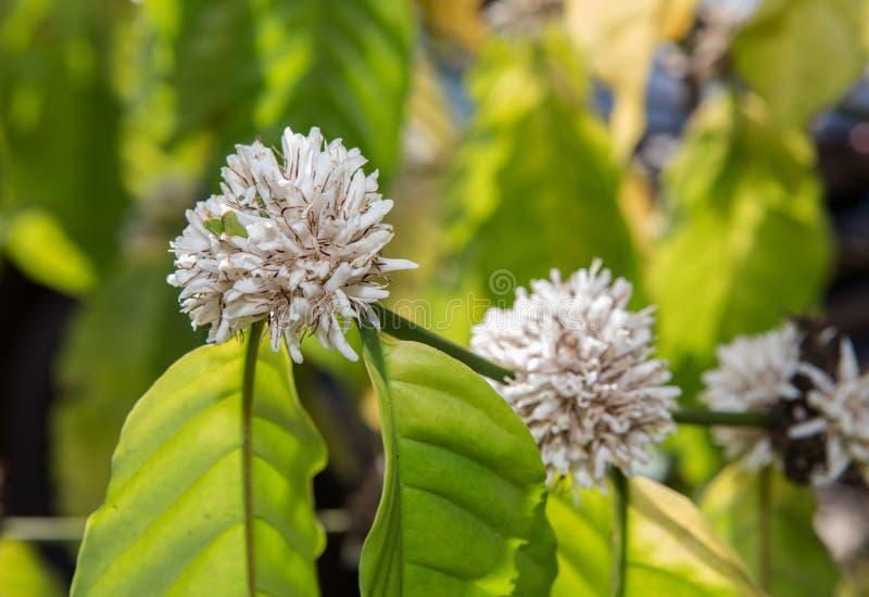 Blomma för färg för kaffeblomning vit av kaffeträdet royaltyfria bilder
