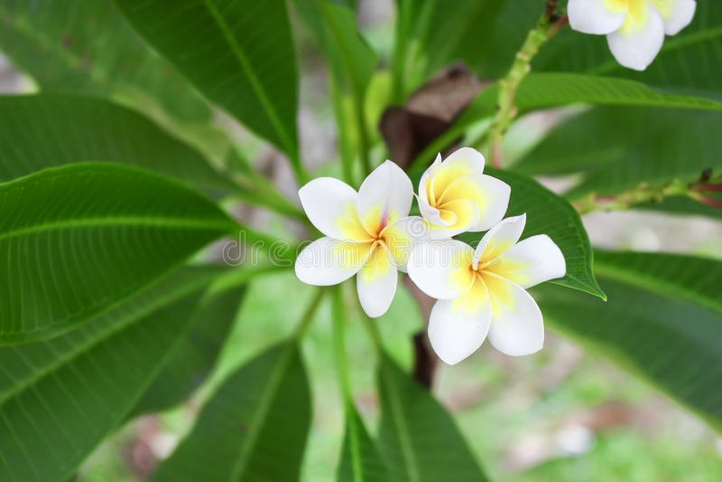 Blomma för frangipani för för Plumeriablommavit och rosa färger tropisk arkivbild