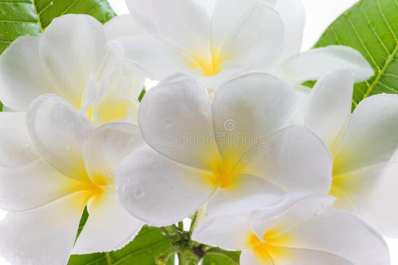 Blomma för Frangipani (LAN-thom) fotografering för bildbyråer
