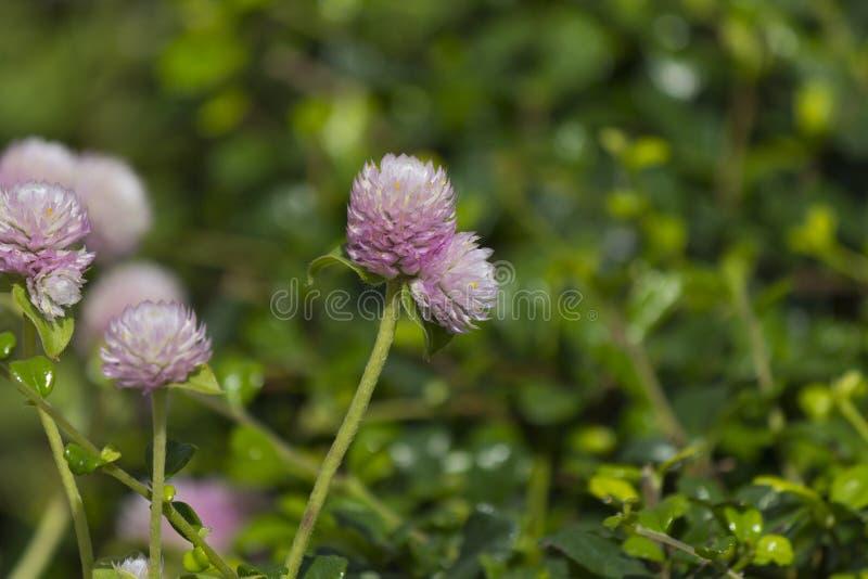 Blomma för Fukian te (den Carmona retusaen) royaltyfri foto