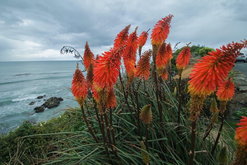 Blomma för glödhet poker för Kniphofia på en strand arkivbilder