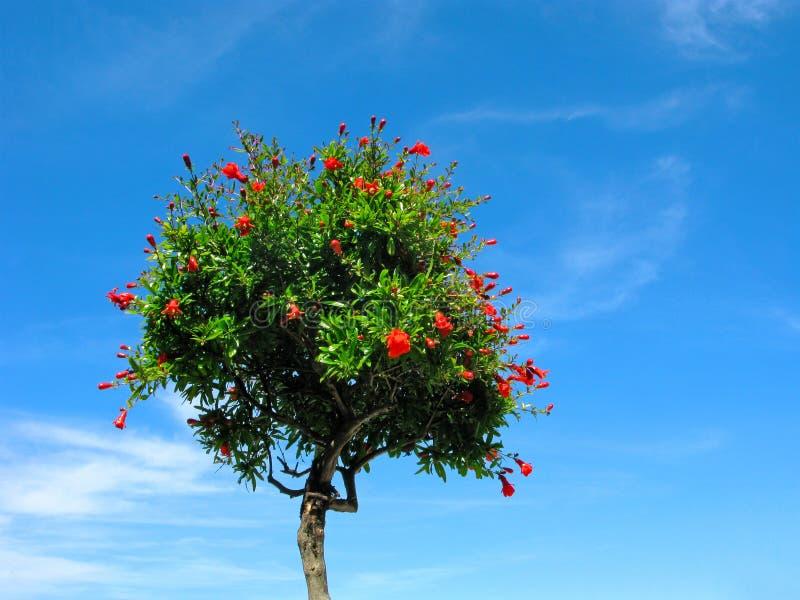 Blomma för granatäppleträd som isoleras på blå himmel royaltyfri foto