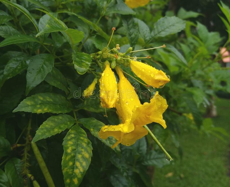 Blomma för gul klocka fotografering för bildbyråer