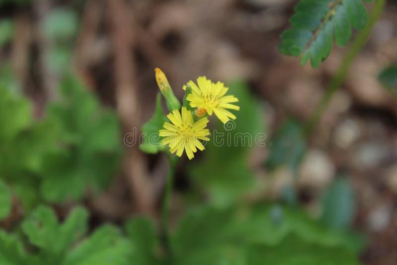 Blomma för guling för krysantemumDendranthemalavandulifolium royaltyfri fotografi