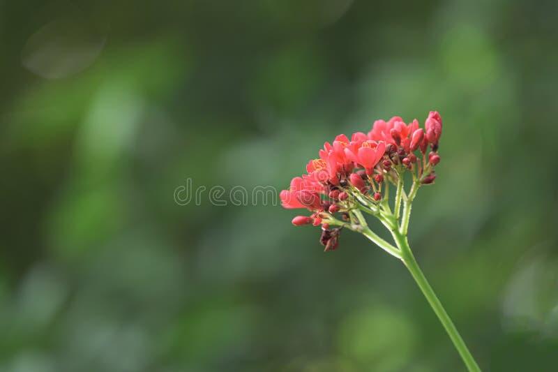Blomma för integerrima för Jatropha för jatropha för röd bomull för närbild leaved med abstrakt suddig naturbakgrund arkivbilder