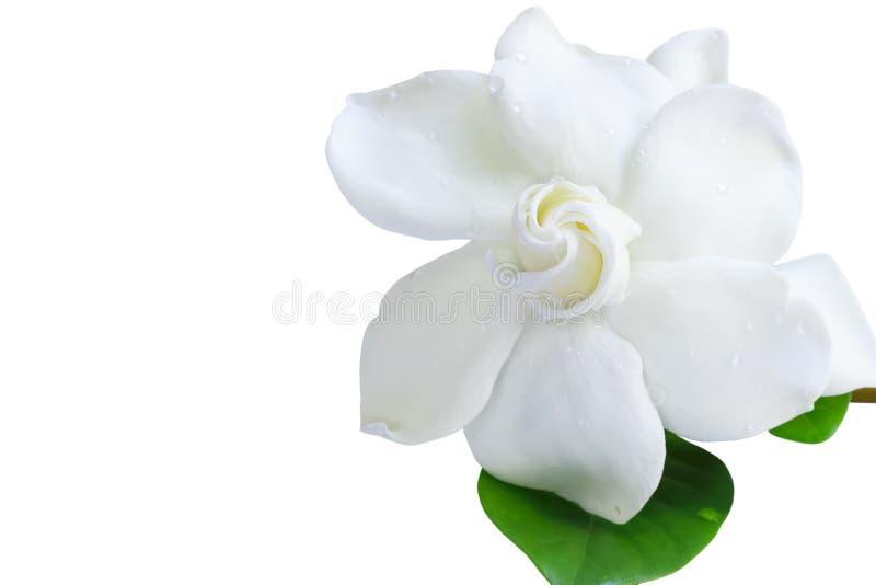 Blomma för jasmin för gardeniajasminoidesudde på vit bakgrund arkivbilder