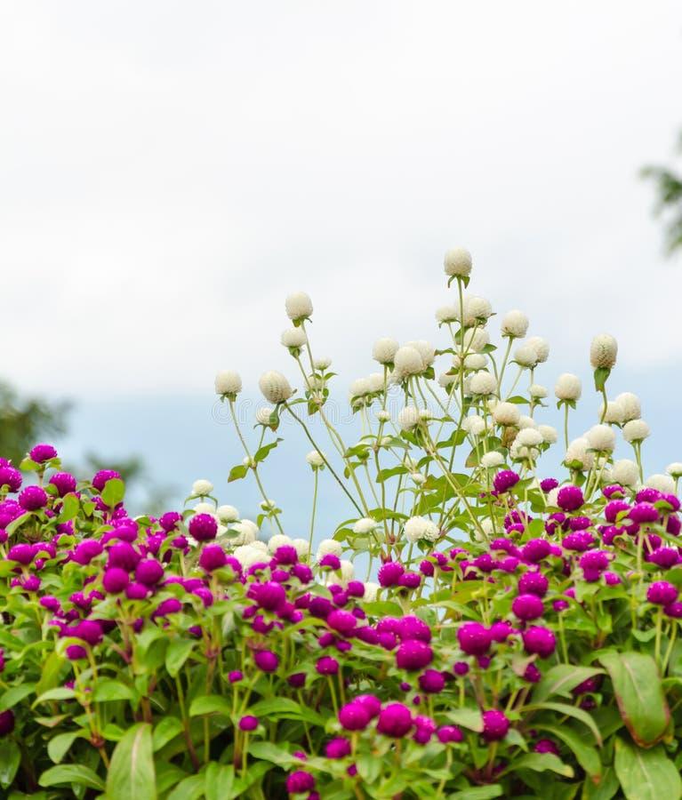 Blomma för jordklotamaranth arkivbild