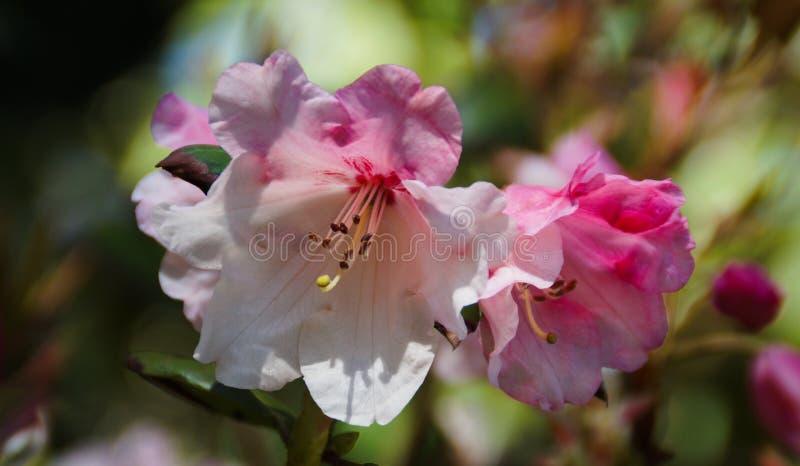 blomma för körsbärsröd blomning fotografering för bildbyråer