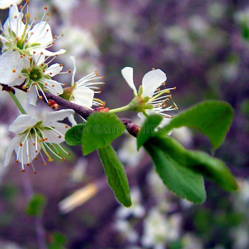 Blomma för körsbärsrött träd royaltyfri bild