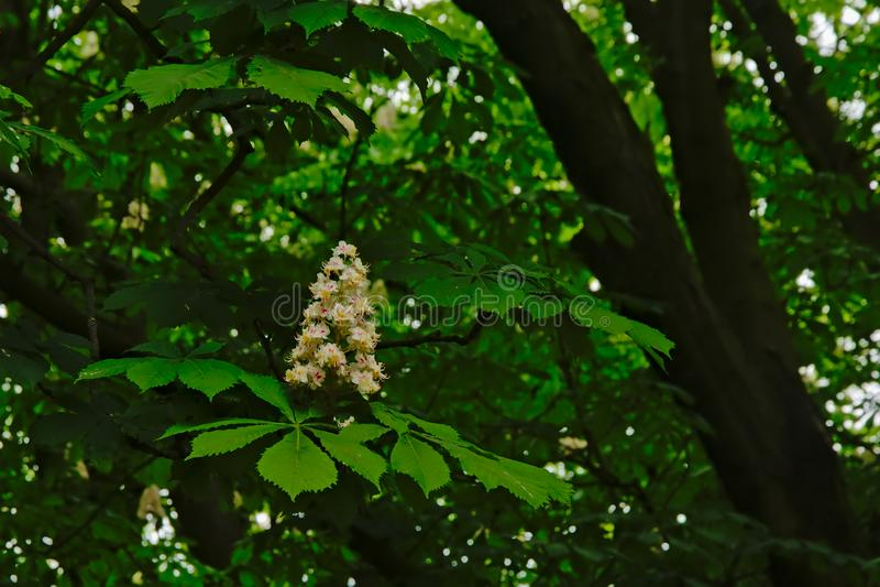 Blomma för kastanj för vit häst och nya gröna blad - Aesculushippocastanum arkivbilder