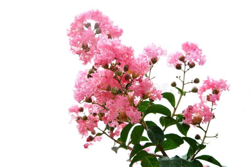 Blomma för kräppmyrten fotografering för bildbyråer