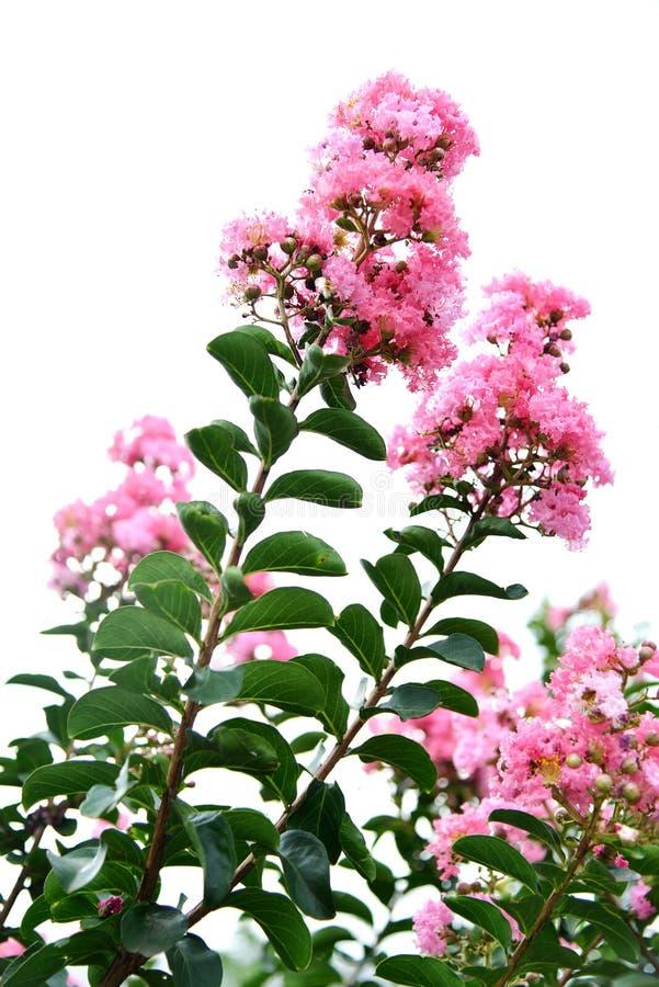 Blomma för kräppmyrten arkivfoton