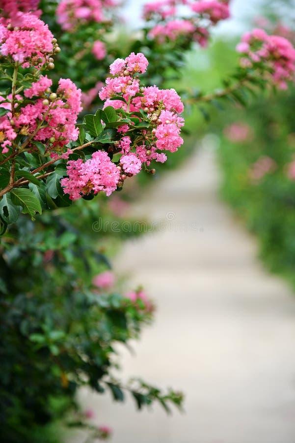 Blomma för kräppmyrten royaltyfri foto