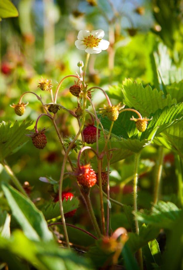 Blomma för lös jordgubbe arkivfoton