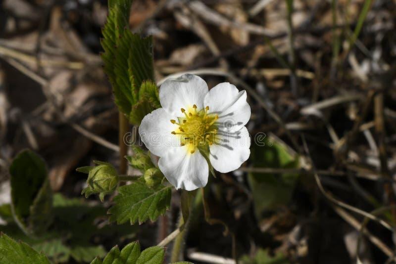 Blomma för lös jordgubbe i skogen royaltyfri bild