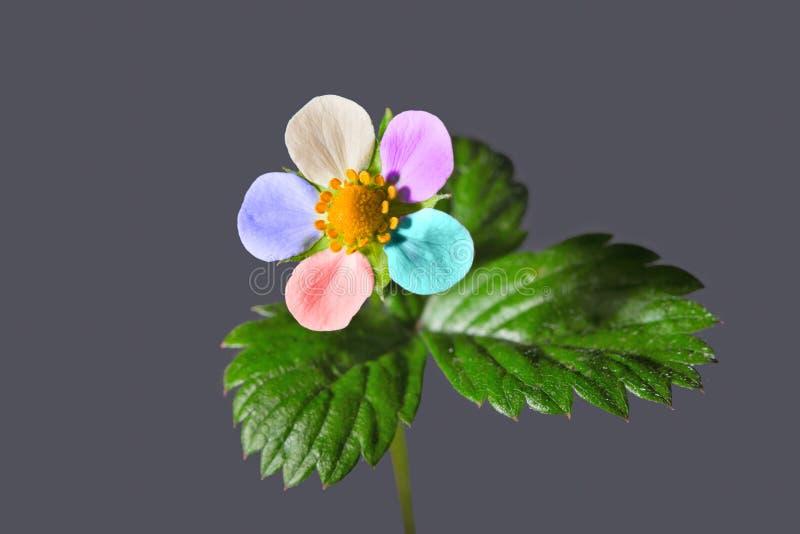 Blomma för lös jordgubbe med mång--färgade kronblad på en grå backg royaltyfri fotografi