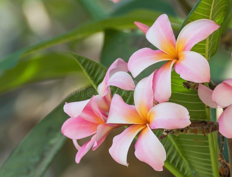 Blomma för LAN Thom arkivfoto
