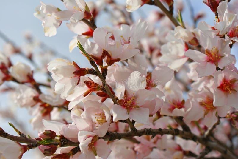 Blomma för mandelträd på blå bakgrund royaltyfria foton