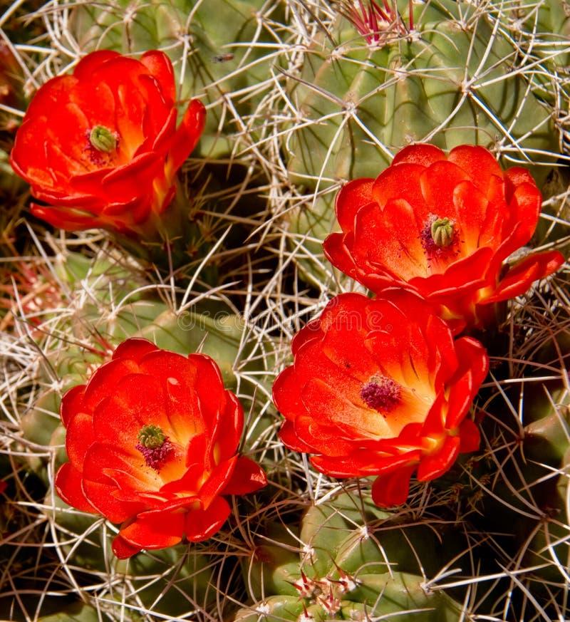 Blomma för Mojavekullekaktus royaltyfri bild