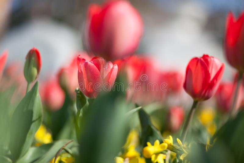 Blomma för naturlig vår som blommar den röda tulpan för skönhetblommor arkivfoton