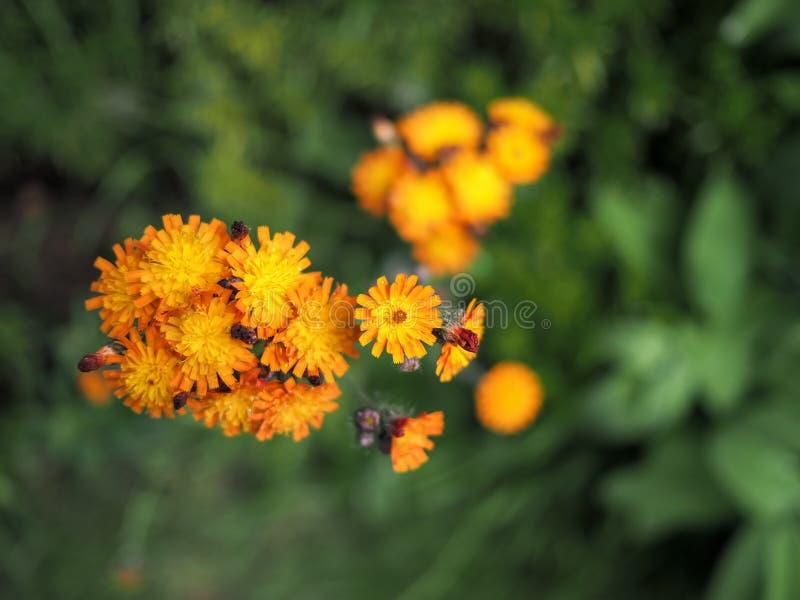Blomma för orange hawkweed i blom royaltyfri fotografi