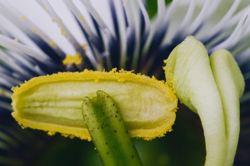 Blomma för passionfrukt - närbildmakro av reproduktiva delar arkivbilder