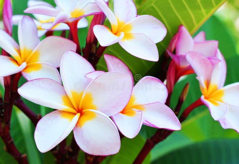 Blomma för plumeria för blomma för för rosa färger för Plumeriablomma som och vit frangipani tropisk blommar på trädbrunnsortblom royaltyfri bild