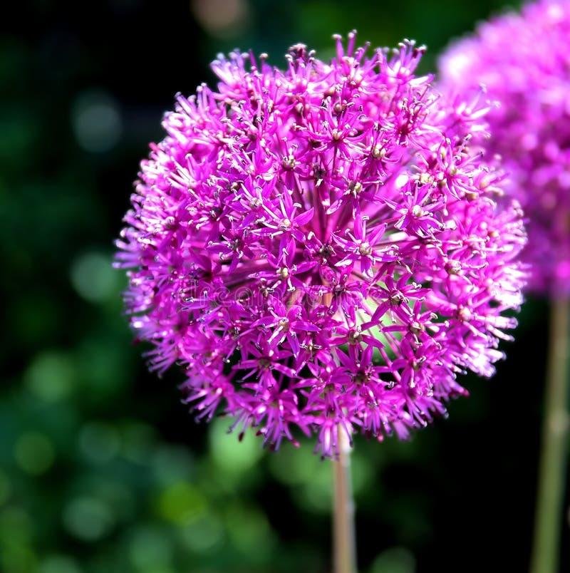 Blomma för purpurfärgad lök & x28; alliumgiganteum& x29; royaltyfria bilder