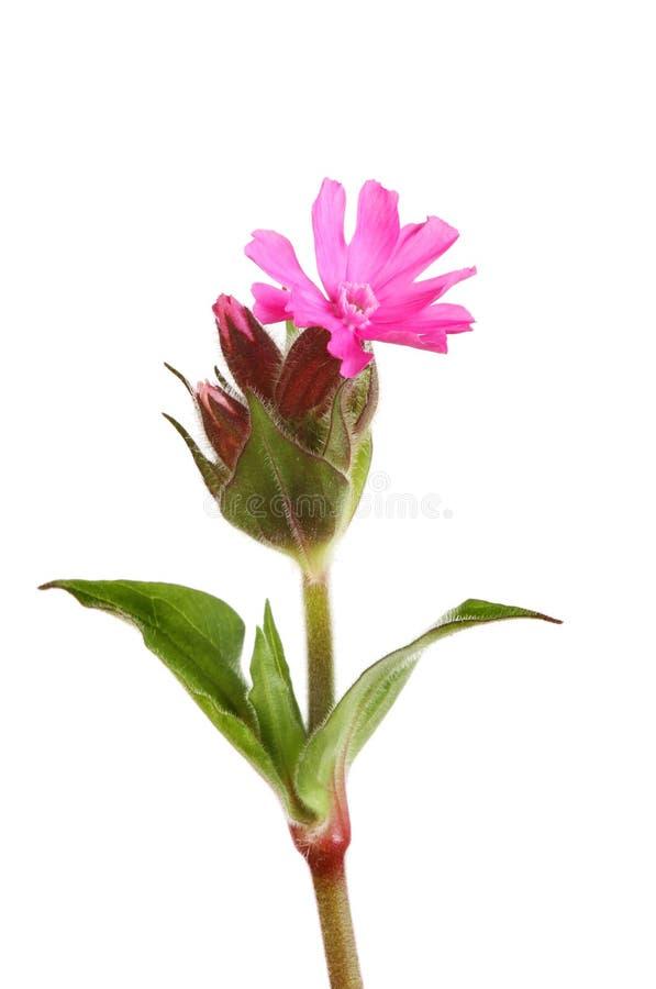 Blomma för röd glim royaltyfria foton