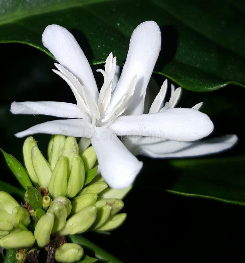 Blomma för Robusta kaffe fotografering för bildbyråer