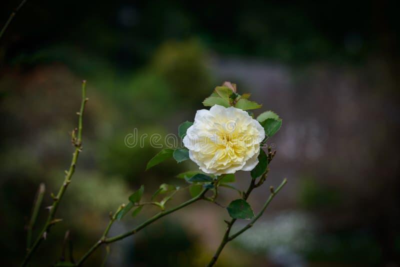 Blomma för `-Rosa damascena` fotografering för bildbyråer