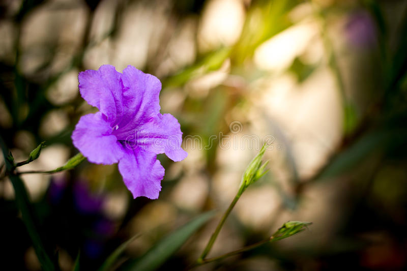Blomma för Ruellia tuberosablomma arkivbilder