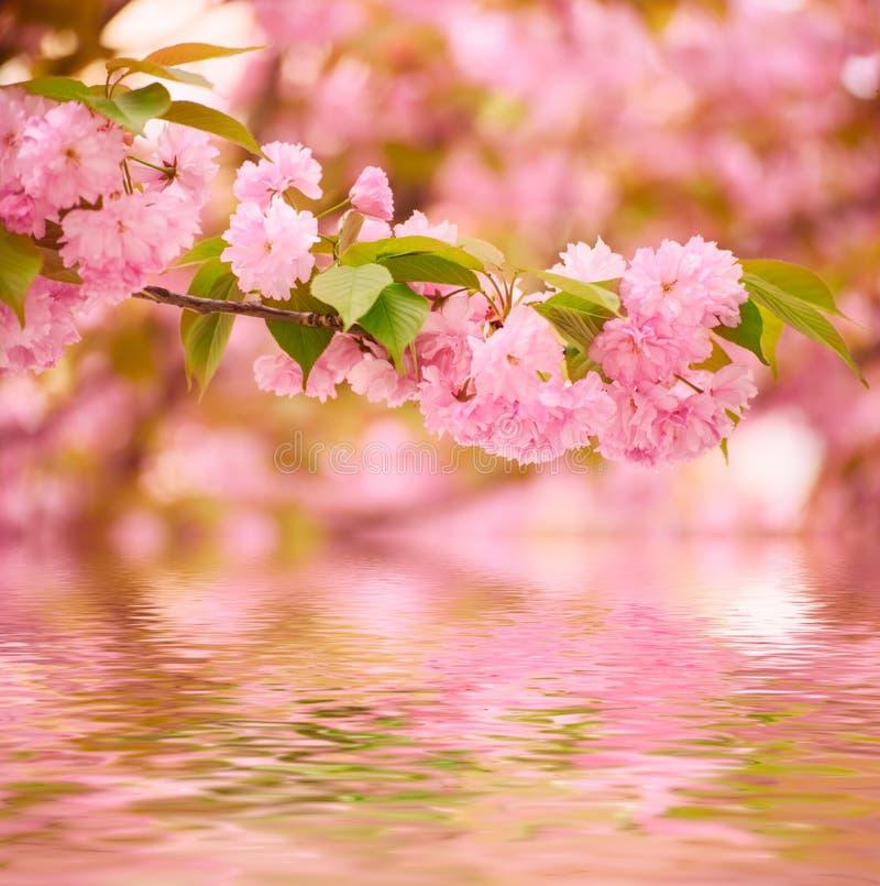 Blomma för Sakura blommor royaltyfri fotografi