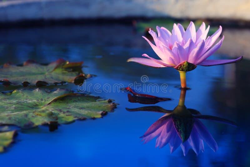 Blomma för skönhetvatten lilly Rosa lotusblomma royaltyfria foton