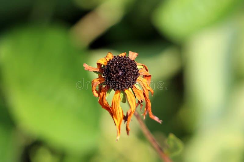 blomma för Svart-synad Susan eller Rudbeckiahirta med den svarta mitten och guling till orange kronblad som startar att vissna arkivfoton