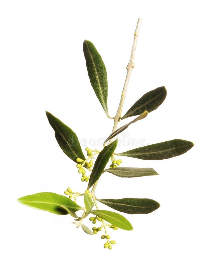 Blomma för svarta oliv arkivfoto