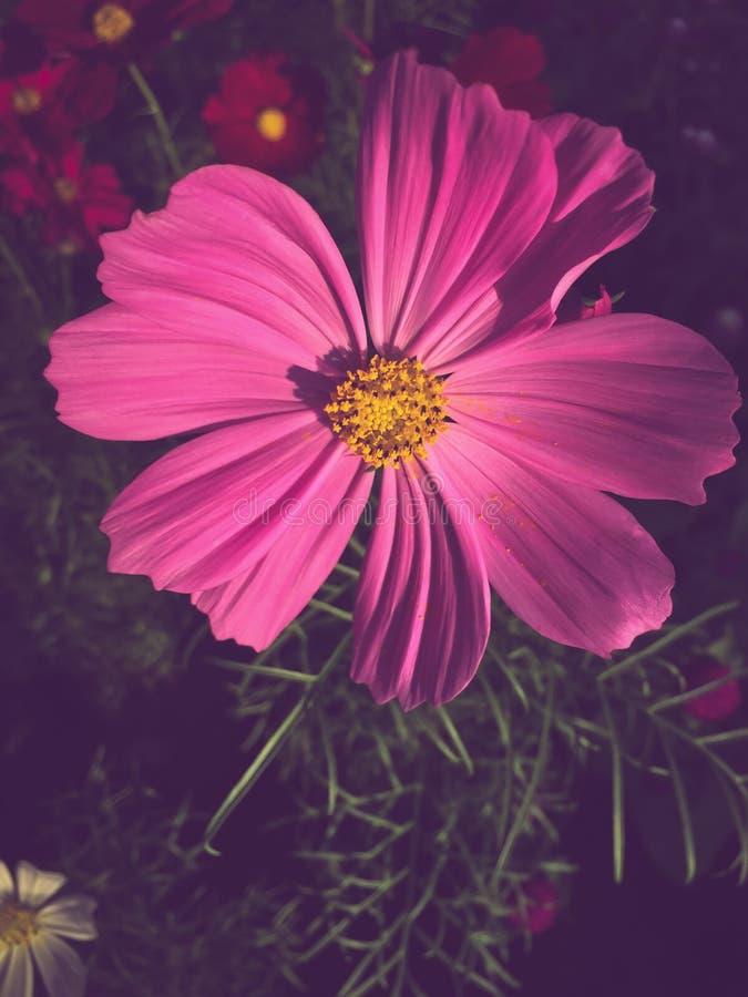 Blomma för svavelkosmosblommor royaltyfri bild